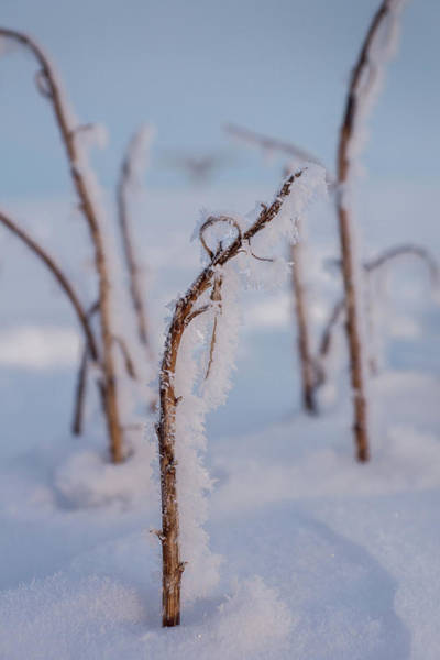 Wall Art - Photograph - Frost On A Stick by Bill Pevlor