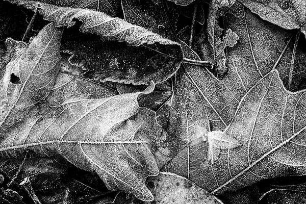 Photograph - Frost On Fallen Leaves Bw by Belinda Greb