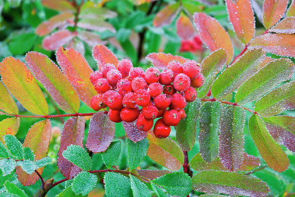 Fire Ring Photograph - Frost On Mountain Ash Berries, Mount by Russ Bishop