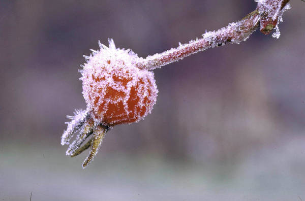 Hip Photograph - Frost Setting On Wild Rose Hips In Idaho by John Dominis