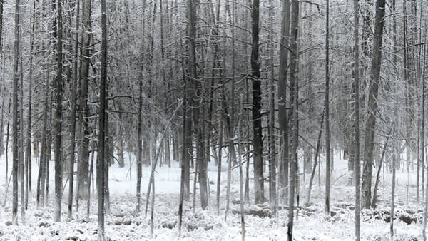 Woodlot Photograph - Frost by Susan Rissi Tregoning