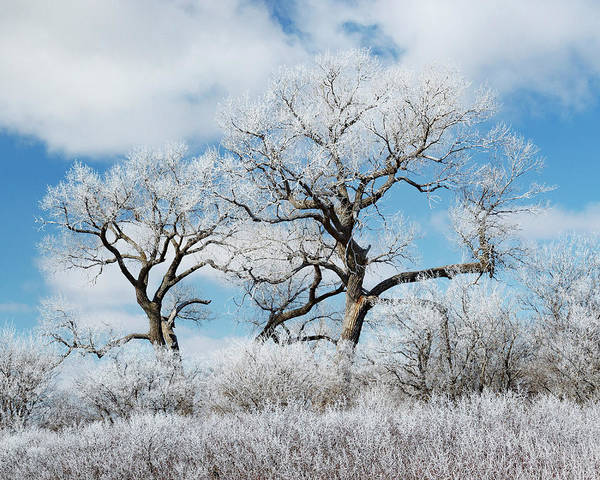 Photograph - Frosted Cottonwoods 01 by Rob Graham