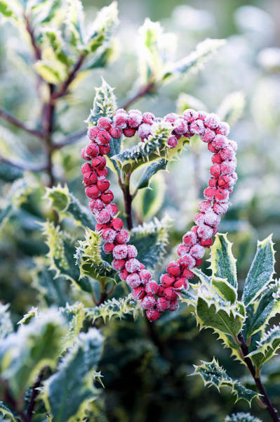 Enamel Wall Art - Photograph - Frosted Heart On Holly by Juliette Wade