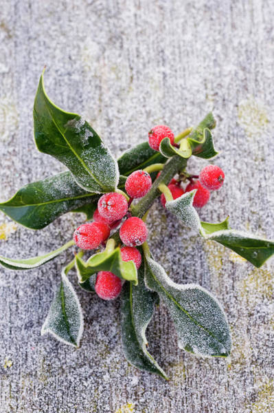 Celebration Photograph - Frosted Holly Sprig by Juliette Wade