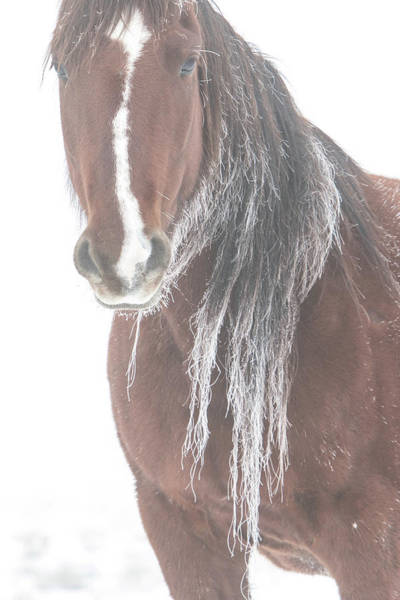 Photograph - Frosted Mare by Kent Keller