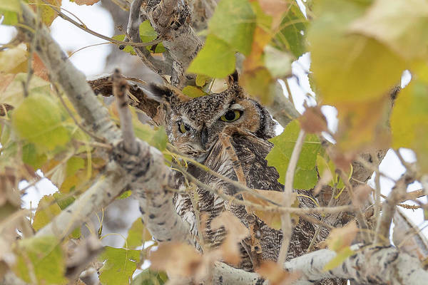 Photograph - Frosty Eyed Great Horned Owl by Tony Hake