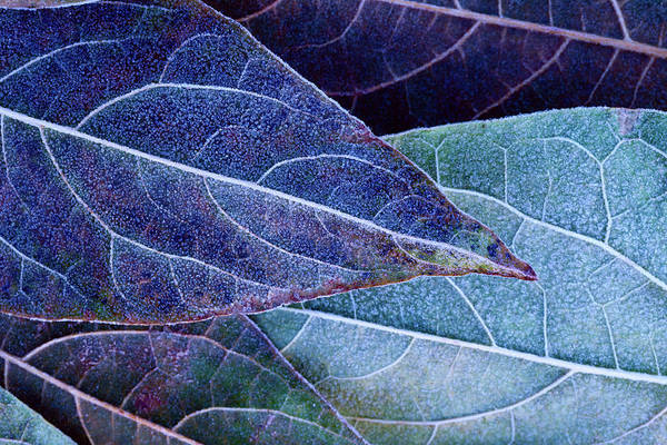 Frosty Leaves Art Print by Ithinksky
