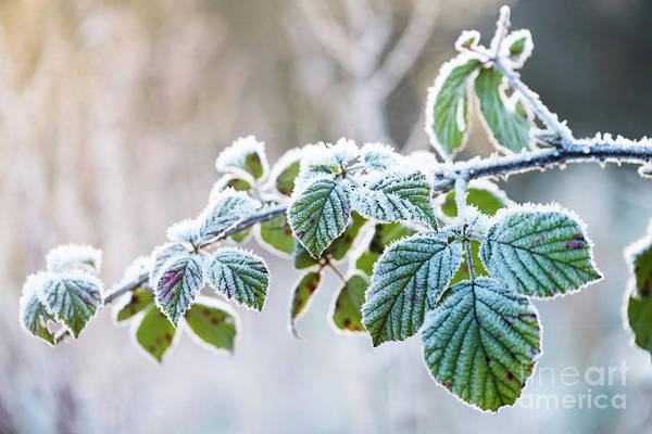 Photograph - Frosty Leaves by Keith Morris