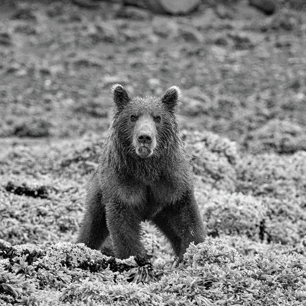 Photograph - Frowning Coastal Brown Bear In Monochrome by Mark Hunter
