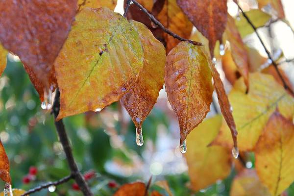 Photograph - Icy Foliage by Candice Trimble