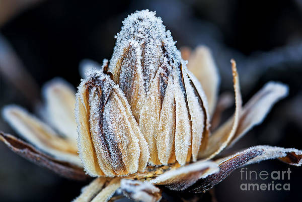 Wall Art - Photograph - Frozen Flower Bud, Macro Shot by Maxim Khytra