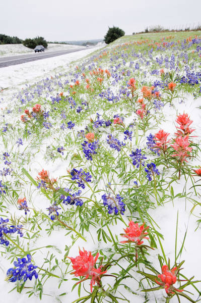 Texas Bluebonnet Photograph - Frozen Flowers In Snow By Country Road by Radius Images