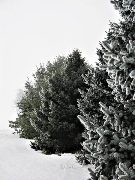 Photograph - Frozen Fog On Conifers by Diane Chandler
