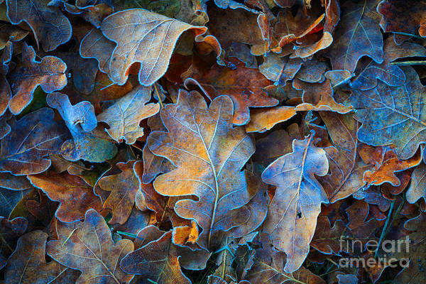 Ice Crystals Photograph - Frozen Oak Leafs - Abstract Natural by Pavel klimenko