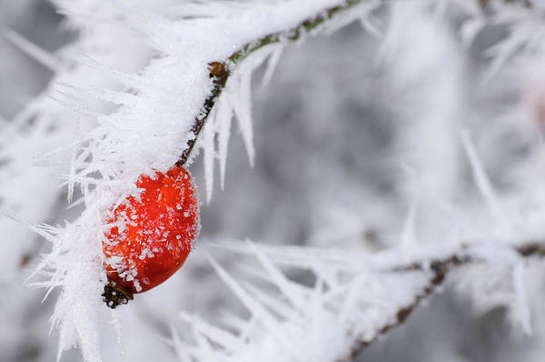 Rowan Photograph - Frozen Red Berries by Mac99