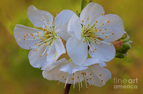 Wall Art - Photograph - Fruit Cherry Blossoms 4503cto by Doug Berry