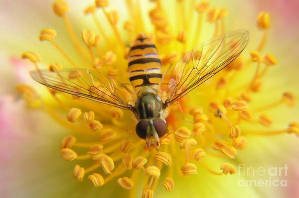 Wall Art - Photograph - Fruit Fly On A Rose by Anette Linnea Rasmussen