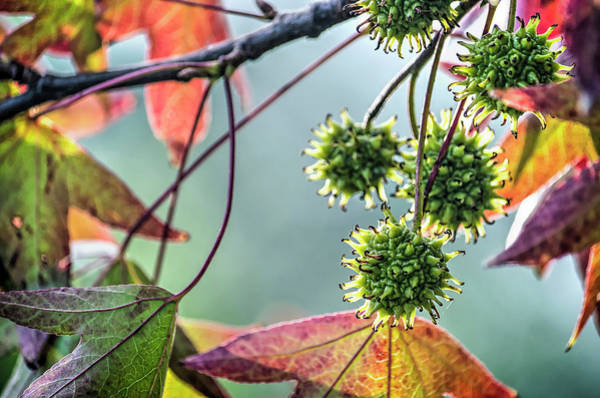 Photograph - Fruits And Leaves Of A Sweet Gum Tree by Frans Blok