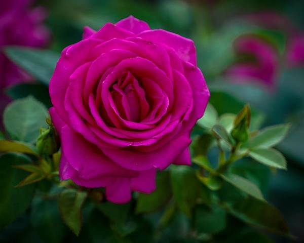 Photograph - Fuchsia Rose by Susan Rydberg