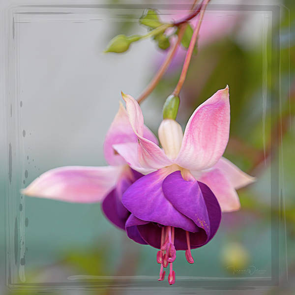 Photograph - Fuchsia Square By Tl Wilson Photography by Teresa Wilson