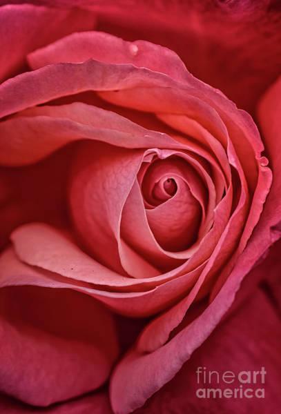 Wall Art - Photograph - Full Bloom Close Up by Robert Bales