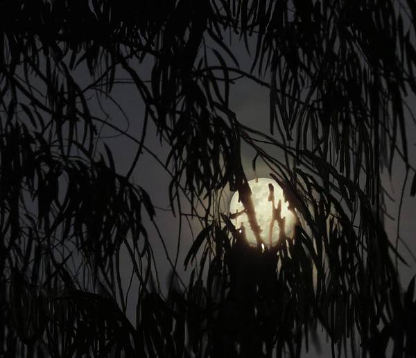 Wall Art - Photograph - Full Moon Gum Tree Leaf Silhouette by Joan Stratton