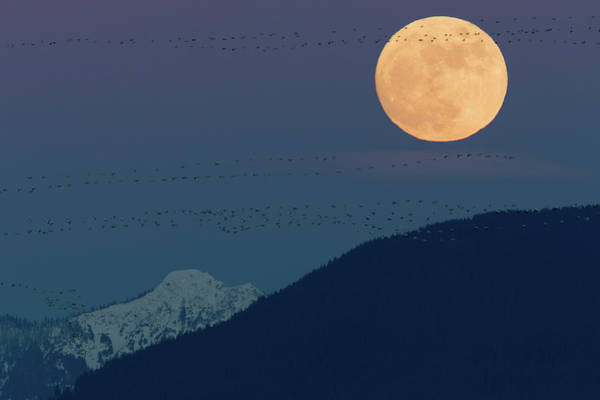 Wall Art - Photograph - Full Moon Rising, Migrating Snow Geese by Ken Archer