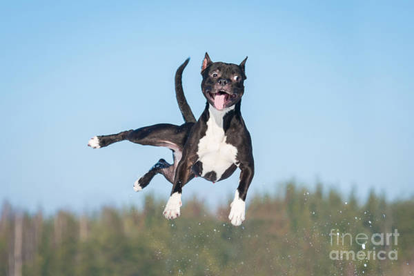 Wall Art - Photograph - Funny American Staffordshire Terrier by Grigorita Ko