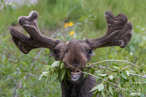 Jackson Hole Wall Art - Photograph - Funny Awkward Moose Eating Branches by Green Mountain Exposure