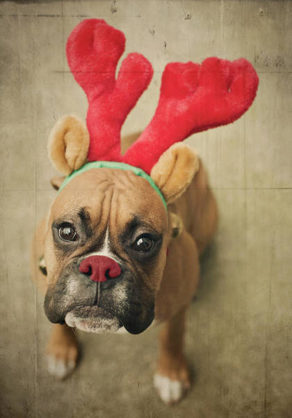 Headband Photograph - Funny Boxer Puppy by Jody Trappe Photography