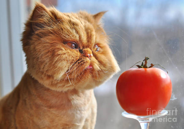 Wall Art - Photograph - Funny Cat And Red Tomato by Zanna Pesnina