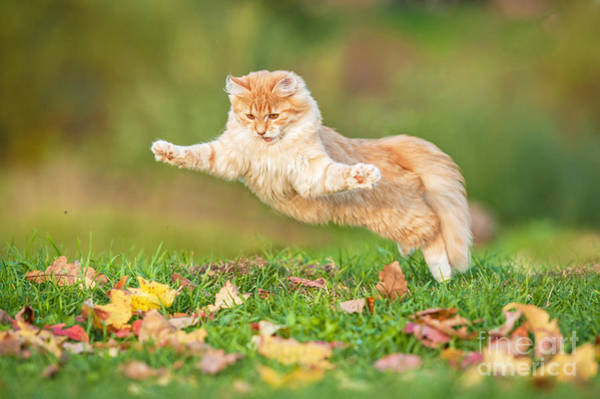 Fluffy Wall Art - Photograph - Funny Cat Flying In The Air In Autumn by Grigorita Ko