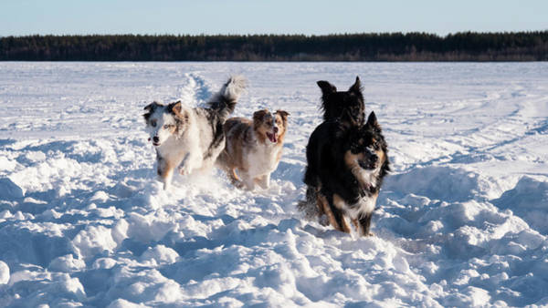 Wall Art - Photograph - Funny Dogs Playing In Winter Landscape by Tamara Sushko