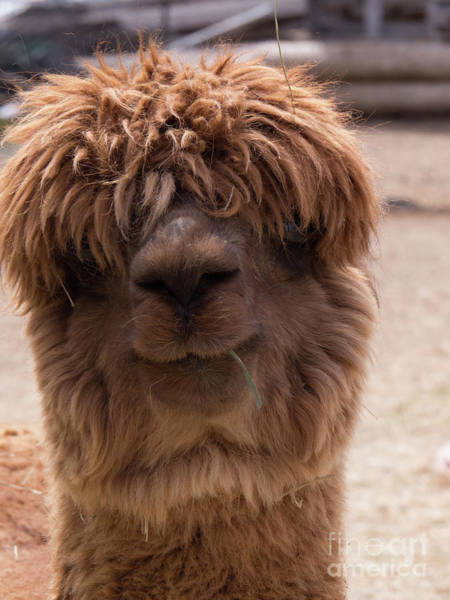 Photograph - Funny Faced Alpaca by Christy Garavetto
