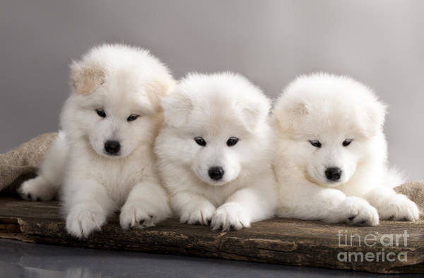 Canine Wall Art - Photograph - Funny Puppies Of Samoyed Dog Or Bjelkier by Liliya Kulianionak