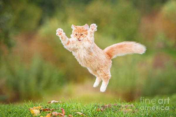 Fluffy Wall Art - Photograph - Funny Red Cat Flying In The Air In by Grigorita Ko
