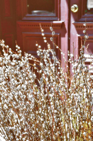 Photograph - Furry Catkins by JAMART Photography