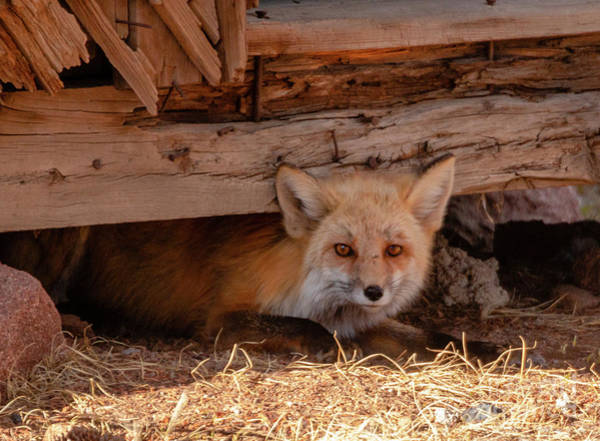 Photograph - Furtive Fox by Steve Krull