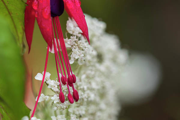 Photograph - Fuschia And Queen Anne's Lace by Robert Potts