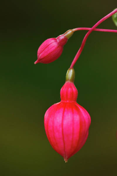 Municipality Photograph - Fuschia Buds by Laszlo Podor