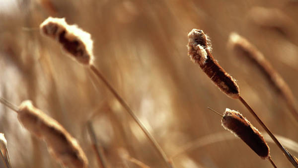 Wall Art - Photograph - Fuzzy Cattails by Todd Klassy
