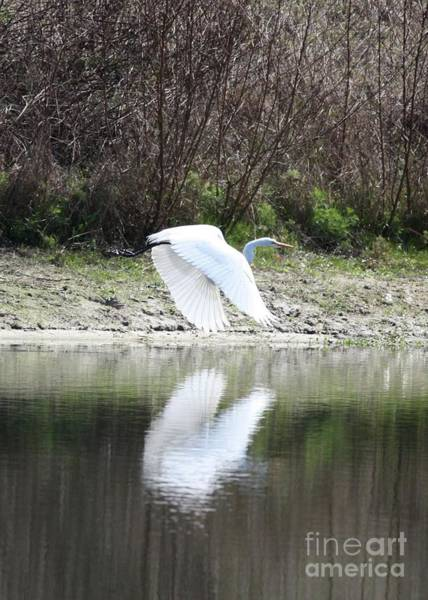 Photograph - Fying Great Egret Reflection by Carol Groenen