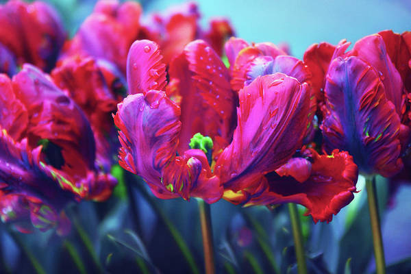 Photograph - Tulip Rococo by Jessica Jenney