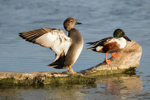Wall Art - Photograph - Gadwall Stretching Wings by Larry Ditto