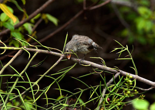Wall Art - Photograph - Galapagos Finch Cracking A Seed by Michael Lustbader