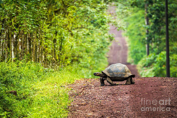 Wall Art - Photograph - Galapagos Giant Tortoise Crossing by Nwdph