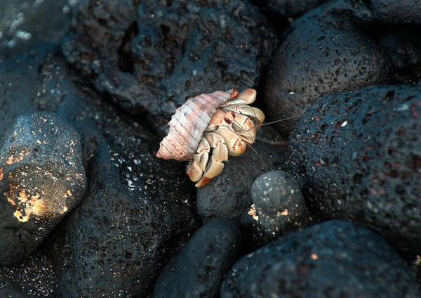 Wall Art - Photograph - Galapagos Hermit Crab by Michael Lustbader