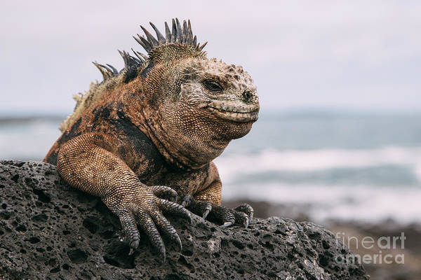Images Wall Art - Photograph - Galapagos Iguana by Jodaarba