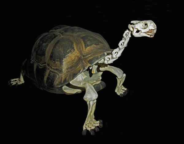 Wall Art - Photograph - Galapagos Tortoise Skeleton by Millard H. Sharp