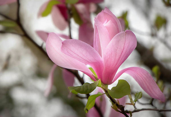 Photograph - Galaxy Magnolia Bloom By Tl Wilson Photography by Teresa Wilson